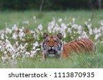 the siberian tiger  panthera... | Shutterstock . vector #1113870935