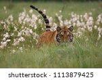 the siberian tiger  panthera... | Shutterstock . vector #1113879425