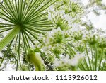 the poisonous giant hogweed ... | Shutterstock . vector #1113926012