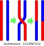 chromosomal crossing over | Shutterstock .eps vector #1113987212