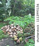 Small photo of A low tree in a forest in Negros Oriental growing beside a pile of coconut husks, originated from a purple flower (Amorphophallus paeoniifolus) that emits a foul smell at night to attract pollinators.