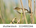 the eurasian reed warbler  ... | Shutterstock . vector #1114002266