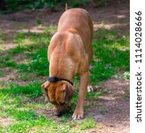 purebred big brown south... | Shutterstock . vector #1114028666
