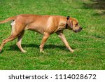 purebred big brown south... | Shutterstock . vector #1114028672