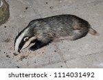european badger  meles meles ... | Shutterstock . vector #1114031492