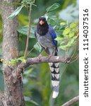 taiwan blue magpie  urocissa...   Shutterstock . vector #1114037516