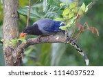 taiwan blue magpie  urocissa...   Shutterstock . vector #1114037522