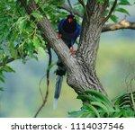 taiwan blue magpie  urocissa...   Shutterstock . vector #1114037546
