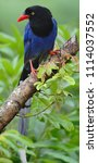 taiwan blue magpie  urocissa...   Shutterstock . vector #1114037552
