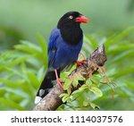 taiwan blue magpie  urocissa...   Shutterstock . vector #1114037576