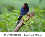 taiwan blue magpie  urocissa...   Shutterstock . vector #1114037582