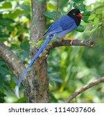 taiwan blue magpie  urocissa...   Shutterstock . vector #1114037606