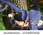 taiwan blue magpie  urocissa...   Shutterstock . vector #1114037636