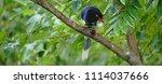 taiwan blue magpie  urocissa...   Shutterstock . vector #1114037666