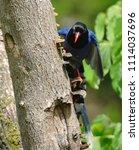 taiwan blue magpie  urocissa...   Shutterstock . vector #1114037696
