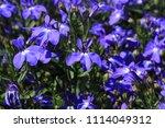"blue ""trailing lobelia sapphire""... | Shutterstock . vector #1114049312"