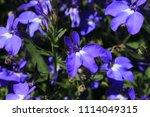 "blue ""trailing lobelia sapphire""... | Shutterstock . vector #1114049315"