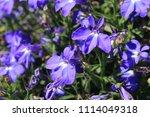 "blue ""trailing lobelia sapphire""... | Shutterstock . vector #1114049318"