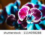 Black Sapphire Orchid