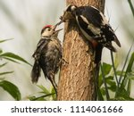 great spotted woodpecker and... | Shutterstock . vector #1114061666