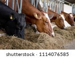cows eating in  the farm | Shutterstock . vector #1114076585