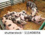 Several Big Pigs In Pen At Farm