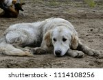 a bored dog. health and... | Shutterstock . vector #1114108256