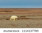 Polar bears on Wrangel Island nature reserve