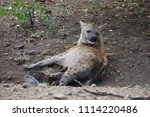 spotted hyenas  a new mother... | Shutterstock . vector #1114220486