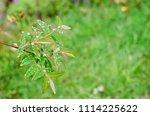 raindrops on fresh green leaves ... | Shutterstock . vector #1114225622