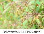 fresh small flower after rain... | Shutterstock . vector #1114225895