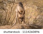 indian striped hyena habitat... | Shutterstock . vector #1114260896