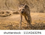 indian striped hyena habitat... | Shutterstock . vector #1114263296