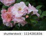 rose flower closeup. shallow... | Shutterstock . vector #1114281836