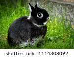 Stock photo portrait of a cute black netherland dwarf rabbit the smallest breed of rabbits this adult rabbit 1114308092