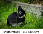 Stock photo bunny portrait of a cute black netherland dwarf rabbit the smallest breed of rabbits this adult 1114308095