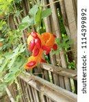 a ripe bitter gourd in the... | Shutterstock . vector #1114399892