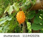 a ripe bitter gourd in the... | Shutterstock . vector #1114420256