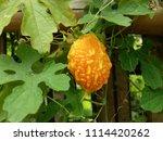 a ripe bitter gourd in the... | Shutterstock . vector #1114420262