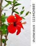 red chinese hibiscus  china... | Shutterstock . vector #1114424885