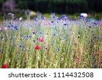 south korea blue cornflower | Shutterstock . vector #1114432508