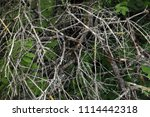 texture of dry branches.   Shutterstock . vector #1114442318