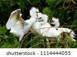 little egret  egretta garzetta  ... | Shutterstock . vector #1114444055