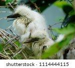 little egret  egretta garzetta  ... | Shutterstock . vector #1114444115
