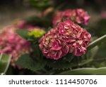huge pink flowers in flowerbed | Shutterstock . vector #1114450706