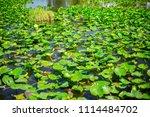 swamp and grass of everglades... | Shutterstock . vector #1114484702