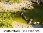 swamp and grass of everglades... | Shutterstock . vector #1114484726