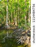 swamp and grass of everglades... | Shutterstock . vector #1114484756