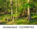 swamp and grass of everglades... | Shutterstock . vector #1114484762