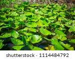 swamp and grass of everglades... | Shutterstock . vector #1114484792